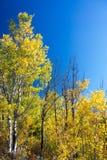 Geel gebladerte en blauwe hemel royalty-vrije stock foto's