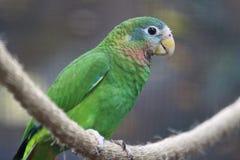 Geel-gefactureerd Amazonië royalty-vrije stock afbeeldingen