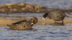 Geel-gefactureerd Duck Cleaning stock foto