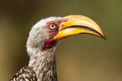 Geel-gefactureerd hornbill Royalty-vrije Stock Afbeeldingen