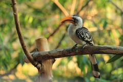 Geel-gefactureerd hornbill Royalty-vrije Stock Foto's