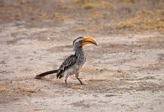 Geel-gefactureerd hornbill Royalty-vrije Stock Afbeelding