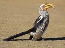 Geel-gefactureerd hornbill royalty-vrije stock fotografie