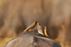Geel-gefactureerd oxpecker, Buphagus-africanus, in bruin bont van grote buffels Vogelgedrag in savanne, het Nationale Park van Kr stock afbeelding