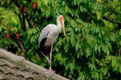 Geel-gefactureerd storke Royalty-vrije Stock Fotografie