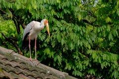 Geel-gefactureerd storke op het dak Royalty-vrije Stock Afbeelding