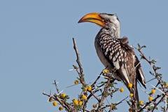 Geel-gefactureerd zuidelijk hornbill, Namibië royalty-vrije stock foto