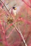 Geel-gefactureerde grosbeak Stock Fotografie