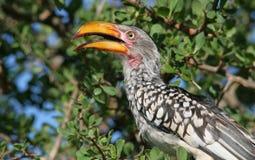 Geel-gefactureerde Hornbill Royalty-vrije Stock Fotografie