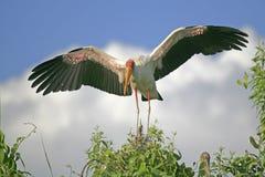 Geel-gefactureerde Ooievaar (ibis Mycteria) Royalty-vrije Stock Afbeeldingen