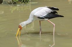 Geel-gefactureerde ooievaar (ibis Mycteria) Stock Afbeelding
