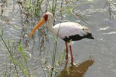 Geel-gefactureerde ooievaarsvogel Royalty-vrije Stock Afbeeldingen