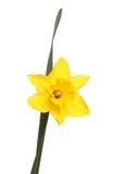 Geel Gele narcis en blad Stock Afbeeldingen