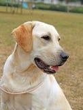 Geel gelukkig Labrador in de zomer Royalty-vrije Stock Foto