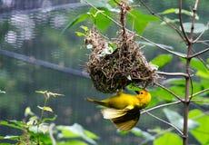 Geel Gemaskeerd de bouw van de Weversvogel nest royalty-vrije stock afbeeldingen