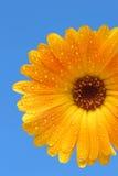 Geel gerbermadeliefje over blauw royalty-vrije stock afbeelding