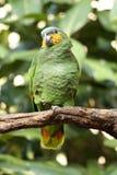 Geel-gesteund Amazonië Royalty-vrije Stock Foto's