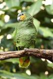 Geel-gesteund Amazonië Royalty-vrije Stock Afbeeldingen