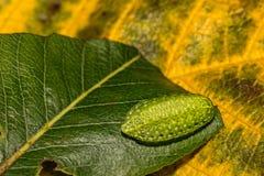 Geel-gesteunde Naaktslak Caterpillar royalty-vrije stock foto