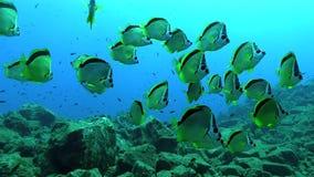 Geel-gestippelde butterflyfish Chaetodon selene in Socorro-eiland van Revillagigedo-Archipel stock video
