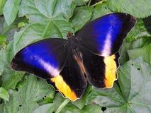 Geel Gestreept Owl Butterfly Royalty-vrije Stock Afbeeldingen