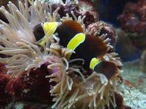 Geel-gestreepte kastanjebruine clownfish Royalty-vrije Stock Afbeelding