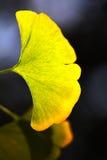 Geel ginkgoblad onder zon Stock Fotografie