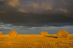Geel gouden stro in de laatste stralen van de het plaatsen zon Royalty-vrije Stock Afbeelding
