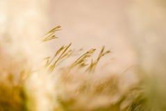 Geel gras Stock Afbeeldingen