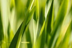 Geel gras in de zon Kleurrijke samenvatting natuurlijke als achtergrond Royalty-vrije Stock Afbeelding