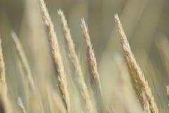 Geel gras in duin Royalty-vrije Stock Fotografie