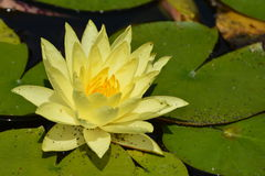 Geel Hardy Water Lily Royalty-vrije Stock Fotografie