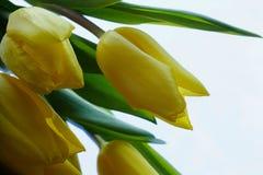 geel het close-up wit van de achtergrond bloemtulp de lentelicht Stock Foto's