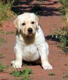 Geel het puppyportret van Labrador in de tuin Royalty-vrije Stock Fotografie