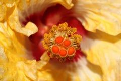Geel Hibiscusstigma 2 Stock Afbeeldingen