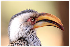 Geel Hornbill-Close-up Royalty-vrije Stock Foto