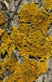 Geel korstmos op een boomschors Royalty-vrije Stock Foto's