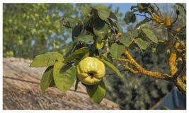 Geel kweepeerfruit op groene boeg Portita, Deltadunarii, Roemenië royalty-vrije stock afbeelding