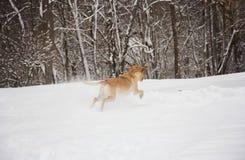 Geel Laboratorium die in de sneeuw springen Stock Afbeelding