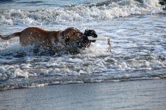 geel laboratorium en Boykin-spaniel die de oceaan bij het strand in Charleston South Carolina doornemen Stock Fotografie