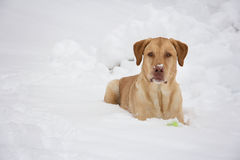 Geel Labrador en zijn bal Stock Afbeelding