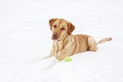 Geel Labrador en zijn bal Royalty-vrije Stock Afbeelding