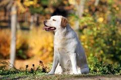Geel Labrador in het park in de herfst royalty-vrije stock fotografie