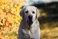Geel Labrador in het park in de herfst royalty-vrije stock afbeelding