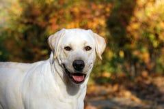 Geel Labrador in het park in de herfst stock afbeeldingen