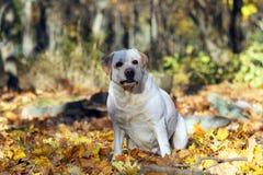 Geel Labrador in het park in de herfstportret royalty-vrije stock afbeelding