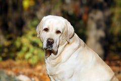 Geel Labrador in het park in de herfstportret stock afbeeldingen