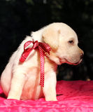 Geel Labrador het puppyportret van Nice op rood Stock Foto