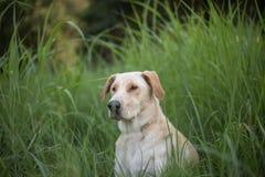 Geel Labrador op de witte achtergronden Stock Foto's