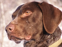 Geel Labrador op de witte achtergronden Stock Afbeeldingen